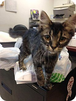 Domestic Shorthair Kitten for adoption in East Hartford, Connecticut - Avery adoption pending