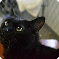 Domestic Mediumhair Cat for adoption in East Smithfield, Pennsylvania - J J