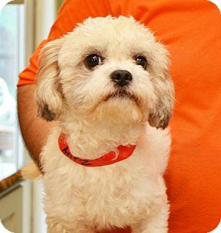 Shih Tzu Mix Dog for adoption in Urbana, Ohio - Antz