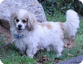 Pekingese Mix Dog for adoption in Norwalk, Connecticut - Toby