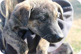 Labrador Retriever/Shepherd (Unknown Type) Mix Puppy for adoption in Naugatuck, Connecticut - Genie