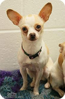 Chihuahua Mix Dog for adoption in Portland, Oregon - Satin
