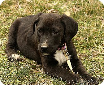 Border Collie Mix Puppy for adoption in Hagerstown, Maryland - Paddington