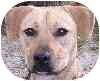 Labrador Retriever/Terrier (Unknown Type, Medium) Mix Dog for adoption in Eatontown, New Jersey - Sophie