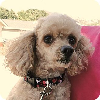Toy Poodle Dog for adoption in Walnut Creek, California - Burt
