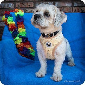 Lhasa Apso Dog for adoption in San Marcos, California - Herman