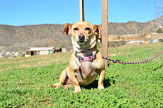 Dachshund Dog for adoption in Acton, California - Candy