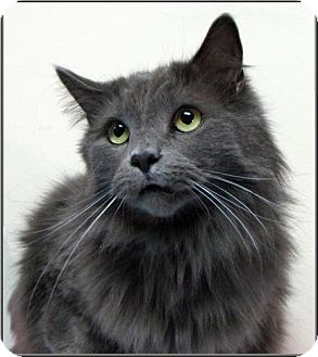 Domestic Mediumhair Cat for adoption in Wakefield, Massachusetts - Henry
