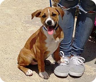 Terrier (Unknown Type, Medium) Mix Puppy for adoption in Lathrop, California - Daytona