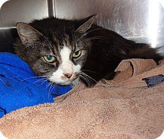 Maine Coon Cat for adoption in Marietta, Georgia - RINGO