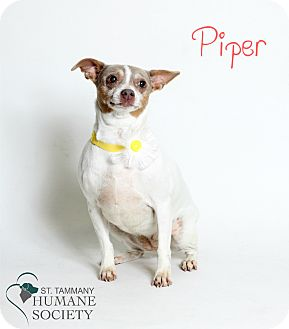 Chihuahua Mix Dog for adoption in Covington, Louisiana - Piper