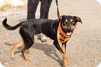 Doberman Pinscher Mix Dog for adoption in Logan, Utah - Zara