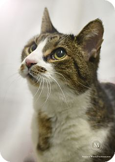 Domestic Shorthair Cat for adoption in St. Louis, Missouri - Luigi