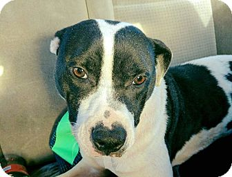 American Pit Bull Terrier/American Staffordshire Terrier Mix Dog for adoption in Covington, Tennessee - Lucille
