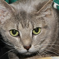 Domestic Shorthair Cat for adoption in Marietta, Ohio - Itty Bitty (Spayed)
