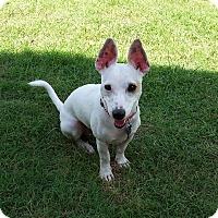 Adopt A Pet :: Jack in Ft. Worth - Austin, TX