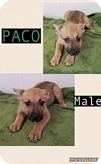German Shepherd Dog/Mountain Cur Mix Puppy for adoption in East Hartford, Connecticut - Paco-pending adoption
