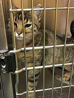 Domestic Shorthair Cat for adoption in Richboro, Pennsylvania - Belle