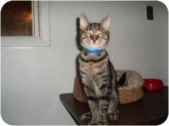 Domestic Shorthair Kitten for adoption in Hamburg, New York - Ceaser