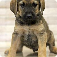 Adopt A Pet :: Pinsir - Waldorf, MD