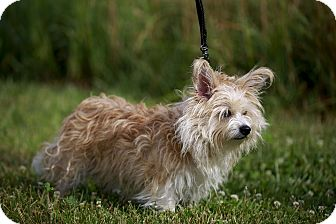 Cairn Terrier/Scottie, Scottish Terrier Mix Dog for adoption in Germantown, Ohio - Babbit