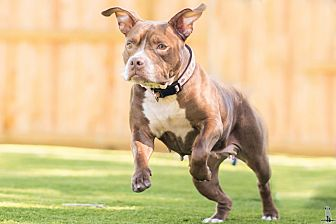 American Pit Bull Terrier Mix Dog for adoption in Houston, Texas - Gigi