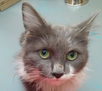 Domestic Longhair/Domestic Shorthair Mix Cat for adoption in Nogales, Arizona - Bat Girl