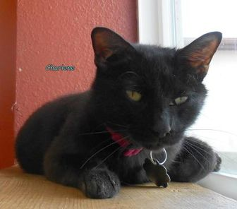 Domestic Shorthair/Domestic Shorthair Mix Cat for adoption in Oskaloosa, Iowa - Charlene