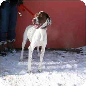 German Shorthaired Pointer Dog for adoption in Denver, Colorado - Rocco