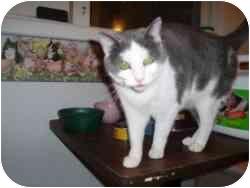 Domestic Shorthair Cat for adoption in Hamburg, New York - Ann