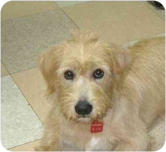 Terrier (Unknown Type, Medium) Mix Puppy for adoption in Ile-Perrot, Quebec - Kenzi