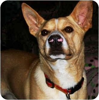 Australian Cattle Dog/Labrador Retriever Mix Dog for adoption in Latrobe, Pennsylvania - Rufus
