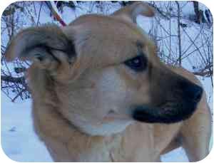 Labrador Retriever/Shepherd (Unknown Type) Mix Dog for adoption in Kansas City, Missouri - Courtesy List-Nutmeg