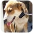 Photo 2 - Collie/Beagle Mix Dog for adoption in West Los Angeles, California - Stevie