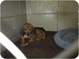 Beagle Mix Dog for adoption in Henderson, North Carolina - Spike
