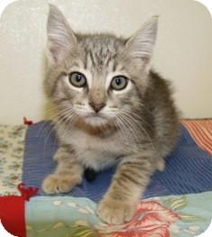 Domestic Shorthair Kitten for adoption in Columbus, Nebraska - Ziggy