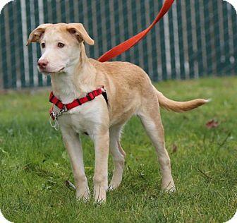 Husky Mix Puppy for adoption in Bellingham, Washington - Cherry