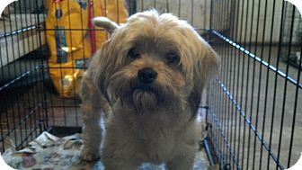 Lhasa Apso Mix Dog for adoption in Fort Valley, Georgia - Jack