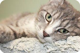 Domestic Shorthair Kitten for adoption in Columbus, Georgia - Metallica 7032