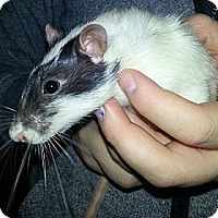 Adopt A Pet :: Possum - Lakewood, WA