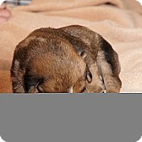 Adopt A Pet :: Max aka Stella1 - Conway, AR