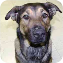 German Shepherd Dog Mix Dog for adoption in Batavia, Ohio - Daisy