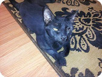 Domestic Shorthair Cat for adoption in Hinesville, Georgia - Asti