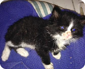 Domestic Mediumhair Kitten for adoption in New York, New York - Breeze