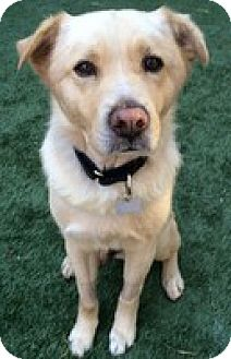 Labrador Retriever Mix Dog for adoption in Torrance, California - Austen