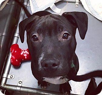 Pit Bull Terrier/Boxer Mix Puppy for adoption in Oak Park, Illinois - Cadbury