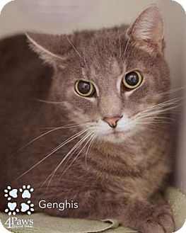 Domestic Shorthair Cat for adoption in Merrifield, Virginia - Genghis