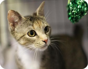 Manx Cat for adoption in Winston-Salem, North Carolina - Mikki