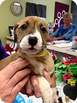Border Collie Mix Puppy for adoption in Newburgh, Indiana - Pointsettia