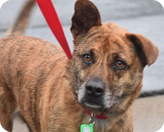 Cattle Dog Mix Dog for adoption in Minneapolis, Minnesota - Rose